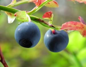 Bilberry benefits
